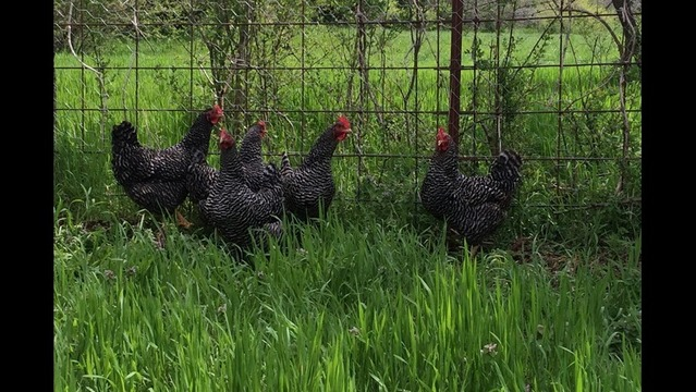 New Ordinance Allows More Chickens in Backyard Fayetteville Farms