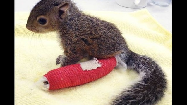 Watch: Baby Squirrel on the Mend in World's Cutest Cast