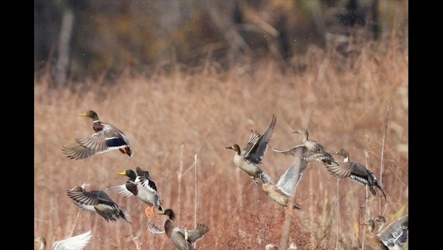 2014-2015 Arkansas Hunting Season for Ducks, Geese Totals 60 Days