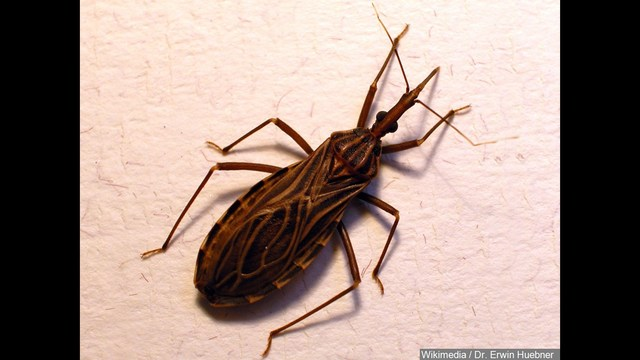 Deadly 'Kissing Bug' Reported in Arkansas: Just How Deadly Are They?