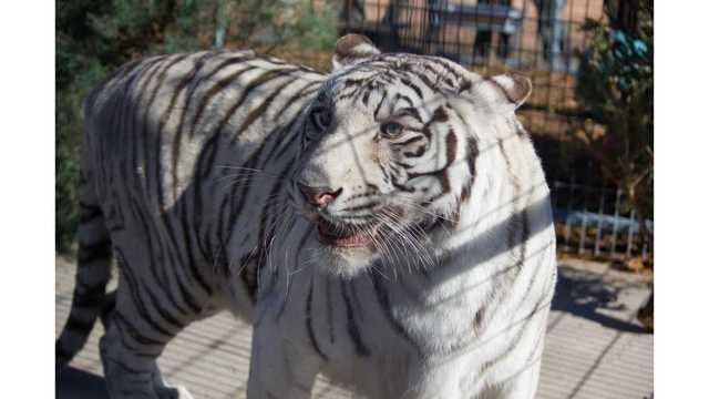 New White Tiger Joins Turpentine Creek