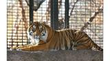 Zookeeper Hospitalized After Tiger Attack at Topeka Zoo